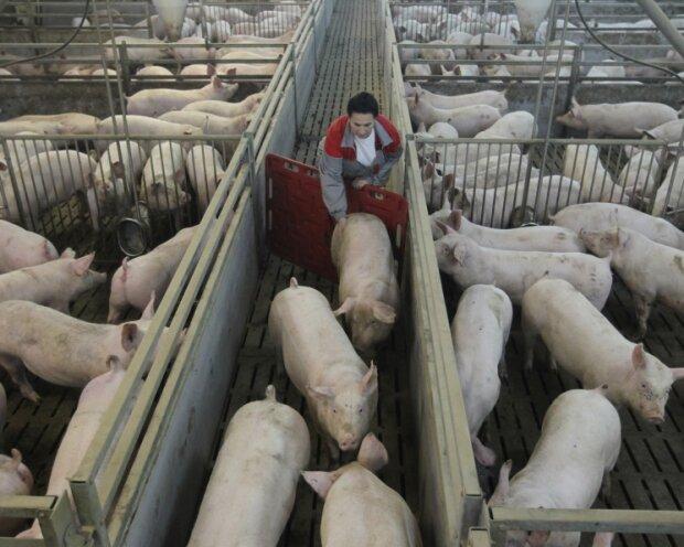 В Украине подешевели свиньи: эксперты озвучили прогноз на сентябрь
