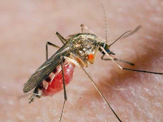 Ученые показали, как комары пьют кровь