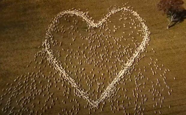 Серце з овечок, скріншот: YouTube