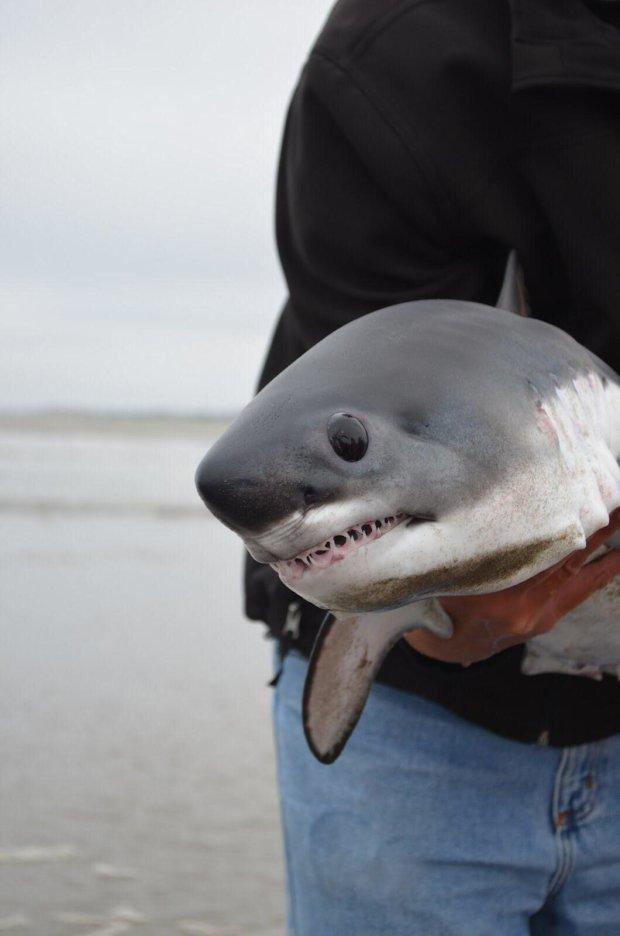 Женщина нашла на берегу нерожденного акуленка и спасла его. Маленькая гроза морей растопит ваши сердца