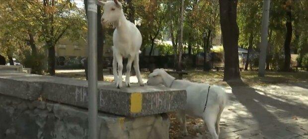 У Києві самотня коза прогулялася мостом Кличка - без маски, зате з молоком