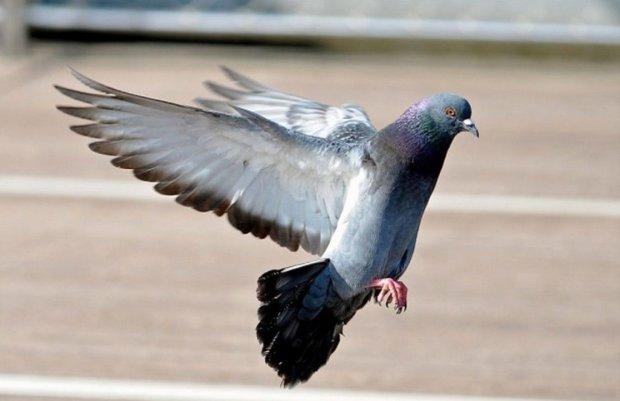 Копы задержали голубя-нарушителя: летают тут всякие на бешенной скорости, еще и не пристегнуты