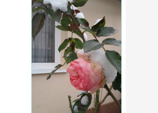 """На Закарпатье розы сошли с ума: """"Заснеженное чудо"""""""
