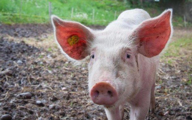 Чоловік помірявся зі свинею силами та інтелектом: відео