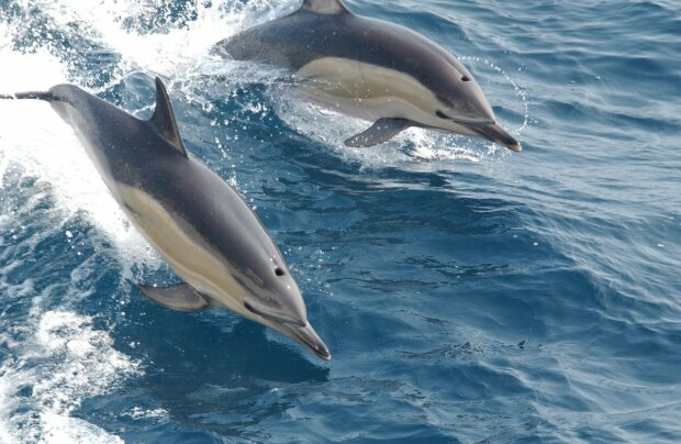 дельфины, фото:pxhere