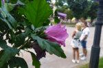 Гібіскус / фото: Depo.Львів
