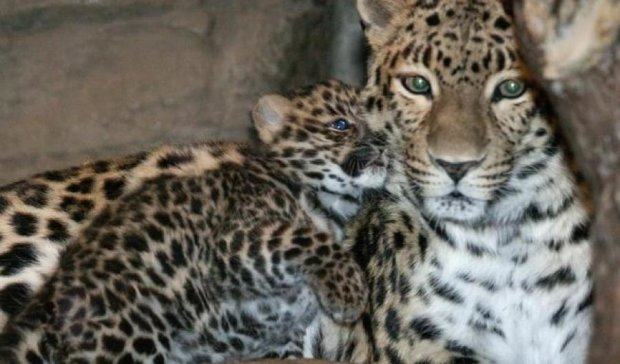 Харьковчанам покажут редчайшего леопарда