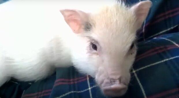 Под Днепром мужчина похитил свинью из-за несчастной любви
