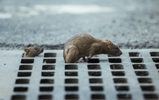 Крысы в метро, фото: Вечерний Киев