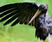 чорний лелека, ілюстративне фото