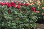 Выращивание роз, скриншот: YouTube