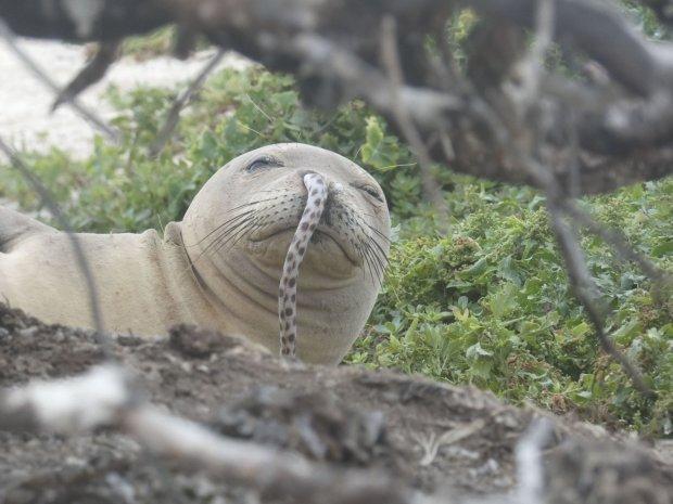 Гавайським тюленям-монахам загрожує небезпека. На них нападають морські вугри, пробираючись прямо в ніс
