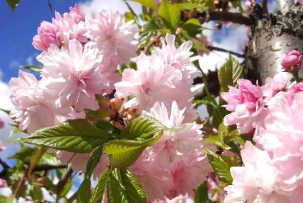 Осінь зустрілася з весною: у Києві зацвіли сакури, - яскраві фото