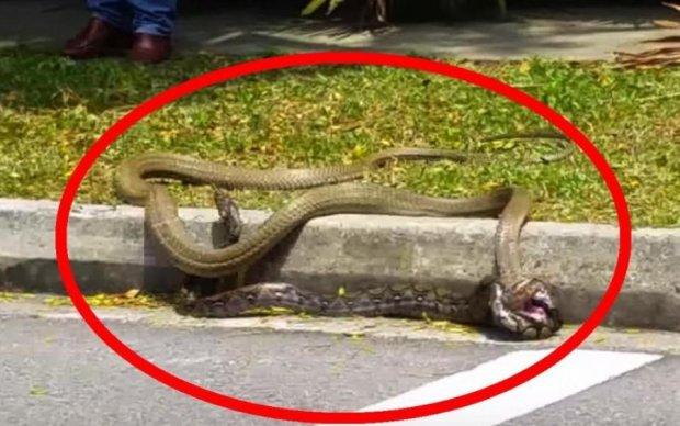 Чия візьме: пітон і кобра зчепилися в поєдинку