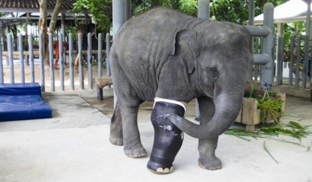 Для слонихи з Таїланду зробили дев'ять протезів