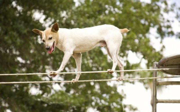 Унікальна тварина: собака-акробат підірвала мережу