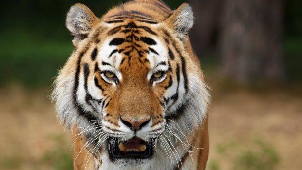 На глазах у детей: в Крыму ненасытный тигр сотворил с козлом такое, что плохо стало даже оккупантам