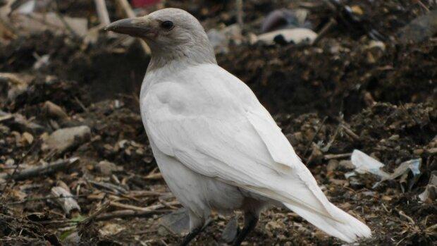 Не така, як всі: на вулицях Дніпра помітили білу ворону, - перната аномалія потрапила на відео