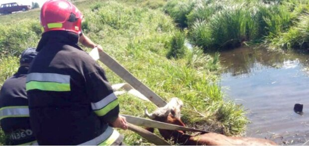 Рятувальники дістали корову з каналу, скріншот