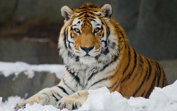 Сибирский тигр учудил невероятное: эпичное видео