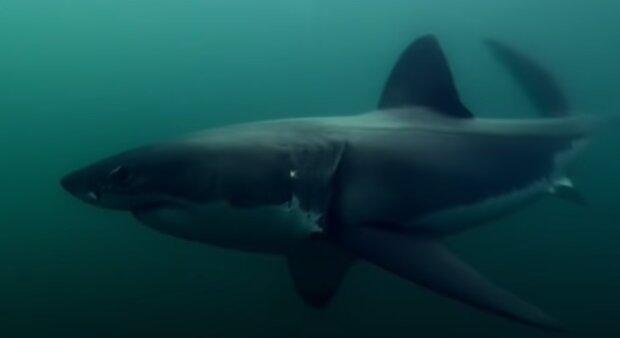Акула, фото: youtube