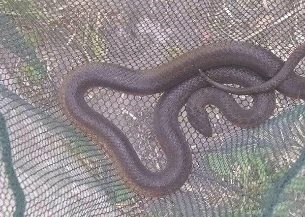 """Змея. Фото: Фейсбук-группа """"Жаби, ящірки та змії"""""""