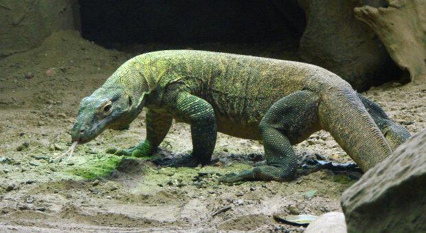 Комодський варан (дракон), фото з вільних джерел