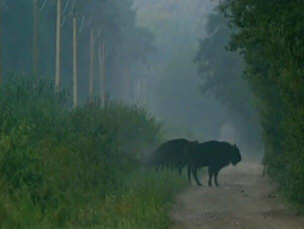 Животные в зоне отчуждения, скриншот видео