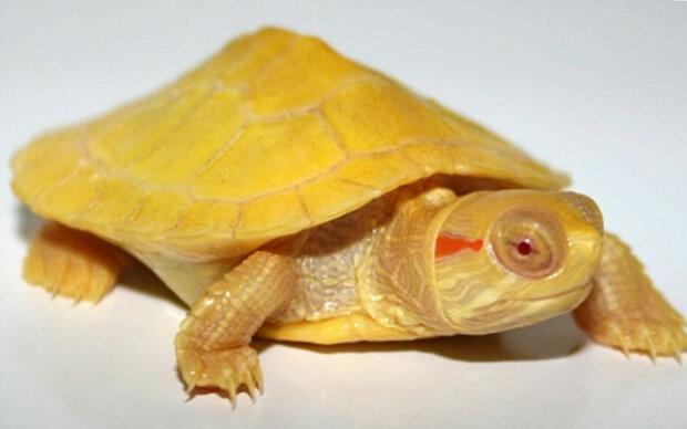 Я вам не лимон: рідкісна жовта черепаха показала людям всю свою красу
