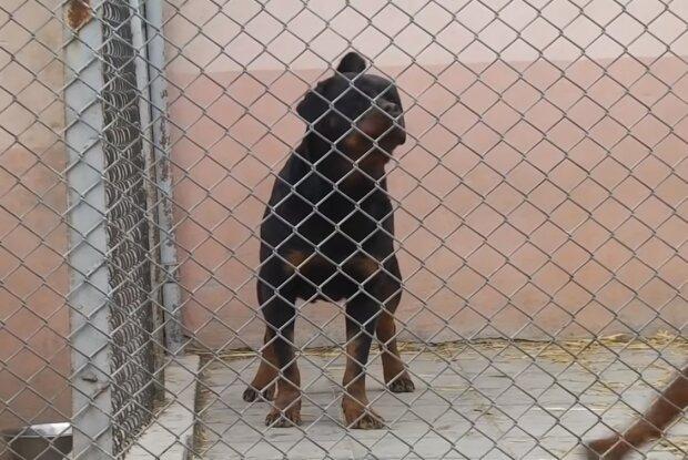 Собака Ротвейлер, скрін з відео