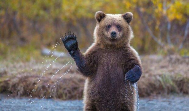 Рятувальники витягли голову ведмедя з банки з-під кави