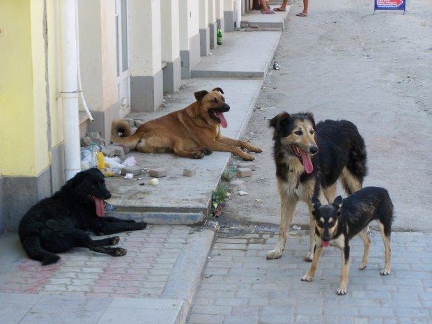 У Кропивницькому бродячі пси мало не розірвали дитину: вакцини від сказу не знайшлося