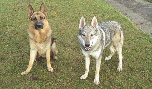 Собак одомашнювали двічі