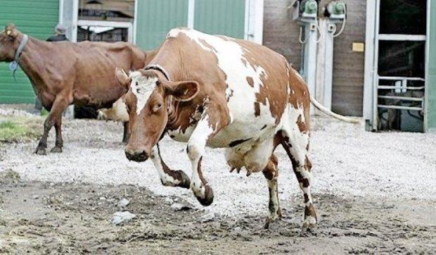 У США корова влаштувала копам марафон (відео)
