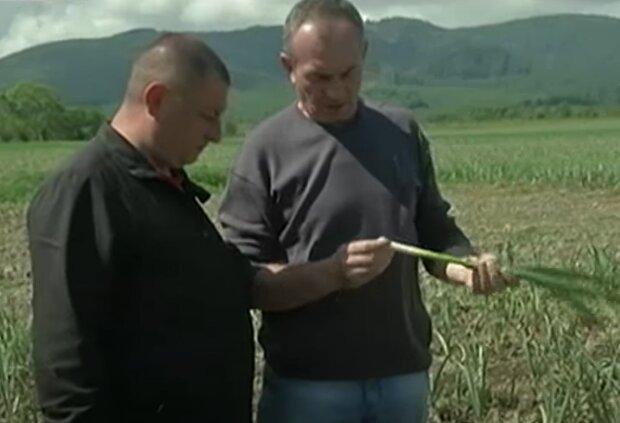 Выращивание чеснока, фото: youtube