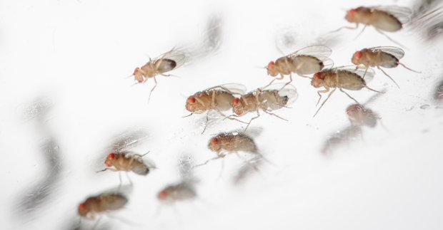 Мухи помогут в войне с заразными насекомыми