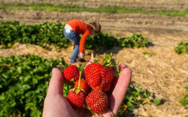 Урожай гибнет: Польша взвыла без украинских заробитчан
