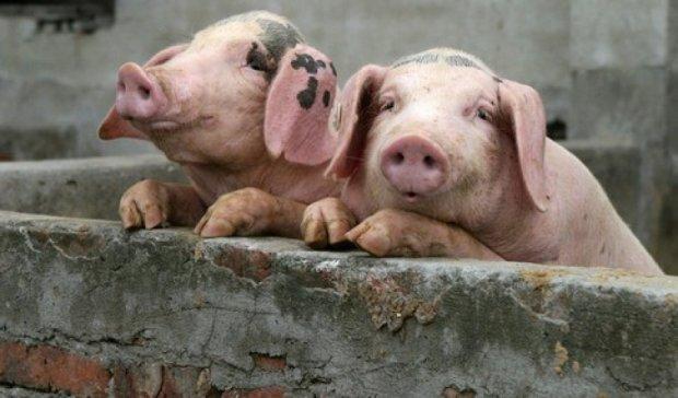 Африканська свиняча чума  дійшла до Сумщини