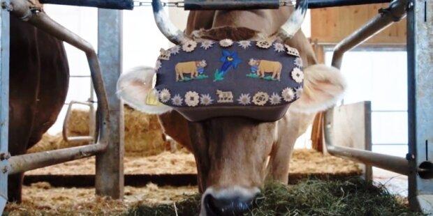 Коровам - очки виртуальной реальности, людям - молоко: фермеры оригинально подошли к использованию гаджетов