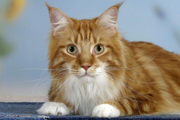 Пухнасті медики: як кішки можуть врятувати від смертельної хвороби