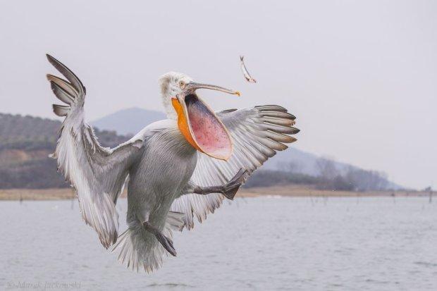 Пелікан-утікач цілий тиждень розгулює по засніженому Харкову. Як йому не холодно?