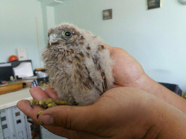 У Франківську врятованому пташеняті подарували друге життя: став зовсім ручним і не боїтися людей