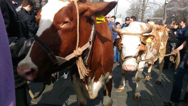 На Хэллоуин копам пришлось спасать коров: видео взорвало сеть