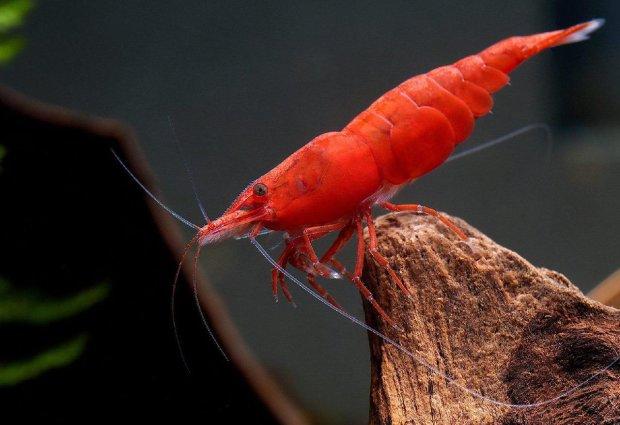 Клешня звичайної креветки підштовхнула вчених до найбільших відкриттів