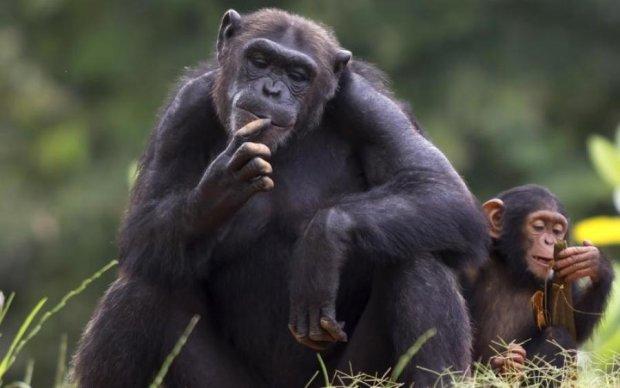 Експерименти за межею: науковець зізнався у схрещенні людини та мавпи