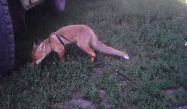 Військові приручили дикого лиса в зоні АТО