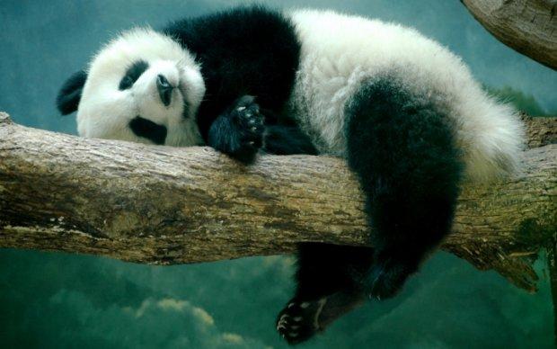Маленькая панда пошутила над посетительницей зоопарка