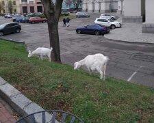 Кози біля МЗС, Telegram: Kyiv LIVE