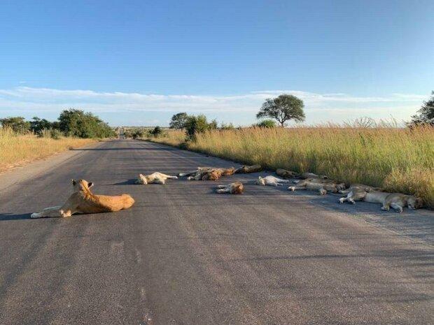 Львы на карантине, фото Twitter Kruger National Park