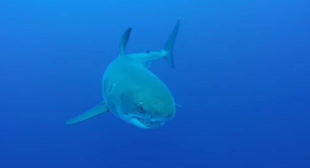Вчені налякали розмірами самої величезної акули на Землі - плавник розміром з людину